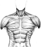 muscular study - front torso by seventyseven