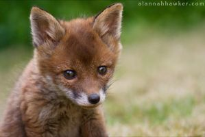 Fox Cub 16 by Alannah-Hawker