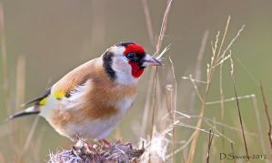 goldfinch 1 by Slinky-2012