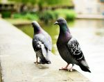 handicaped pigeon by sakhtagantia