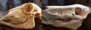 Restauration Project, cleaned skullls by Lot1rthylacine