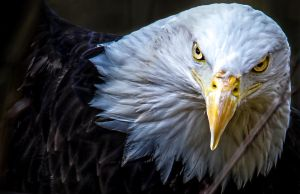 Eagle by nigel3
