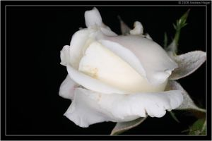 The White Rose by AndrewH28