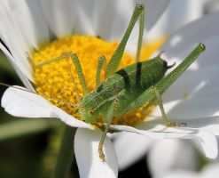 Bush cricket by Vitaloverdose