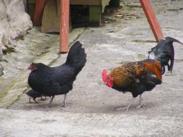Chicken Family 02 by Axy-stock