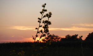 Compass Plant by SigNexus