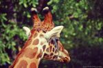 .Giraffe. by mysticmoon13