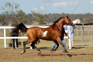 GE arab pinto trot all legs off ground side view by Chunga-Stock