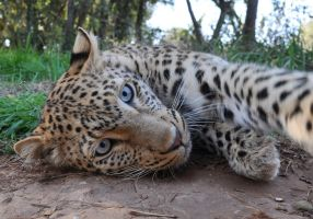 Leopard portrait - stock by kridah-stock