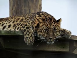 Freya Amur Leopard Yorkshire Wildlife Park 2-8-14 by bellesprince