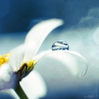 daisy blue.2 by simoendli