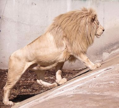 White Lion Stock 6 by HOTNStock