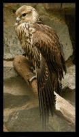 Young Saker Falcon by Rosselanor