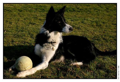 Collie by iswoolley