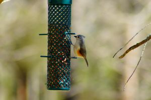 Tufted Titmouse by ohmyhii