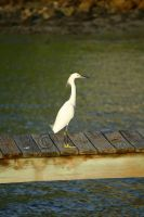 The Snowy Egret by manticor