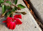 Fallen Rose by kitathehalfblood
