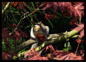 Squirrel in Acer Tree by LadyShamisen