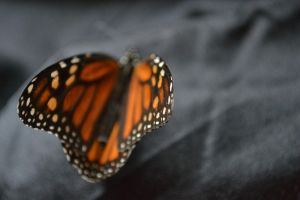 On the Tips of Butterfly Wings by UmbrellaLady