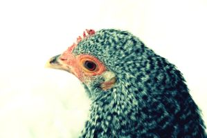 Black and white hen by Mr-Goldfish