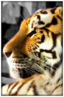 Tiger_Female_Amur by Daolpu
