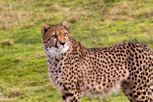 :: Cheetah :: by AmyranthPhotography