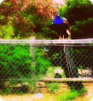 Peacock. by FervidsHand