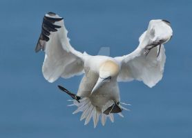 Graceful Landing - Northern Gannet by Jamie-MacArthur