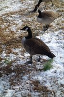 Geese7 by stockicide
