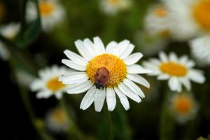 Ladybird on Daisy 1 by paganchild1974
