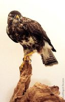 Taxidermy - Buzzard by Illahie