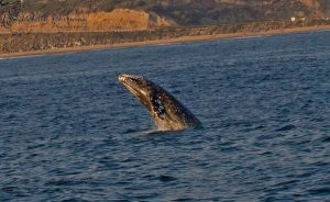 Whale Breaching the water by WesHPhotography