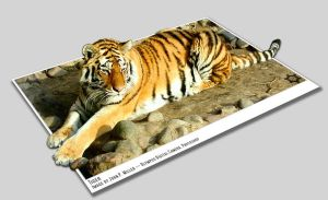 Omaha Zoo Tiger by KnightRanger