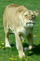 Female Lion - Lioness by FantasyStock
