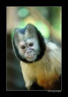 Capuchin monkey by grugster