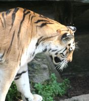 tiger in cologne Zoo 8 by ingeline-art
