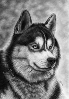 Lovely husky by titol87