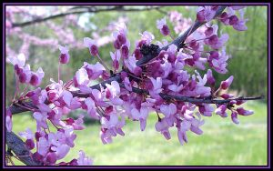 Red Bud Branch by MistressVampy