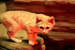 Sand Cat Stock 8 by HOTNStock