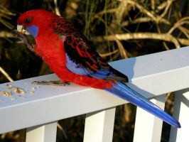 Crimson Rosella by SirTimid