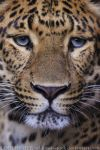 Chinese Panther 8_ stock img by sekhmet-stock