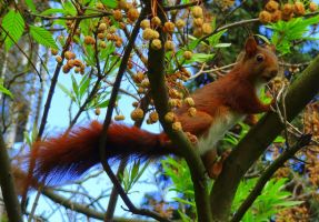 Russet Squirrel in the Tree observing... me by Cloudwhisperer67