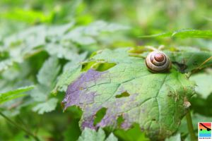 snail on a leaf by mominomi