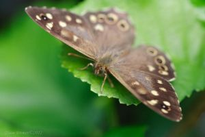Speckled Wood (Pararge aegeria) by Daan-NL
