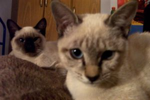 The Two Siamese by Simba83