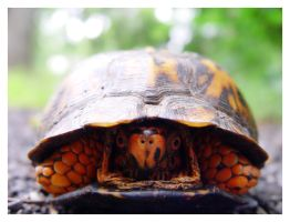 Eastern Box Turtle peeking out by littleredelf