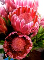Proteas.. by PTIEPOLO2