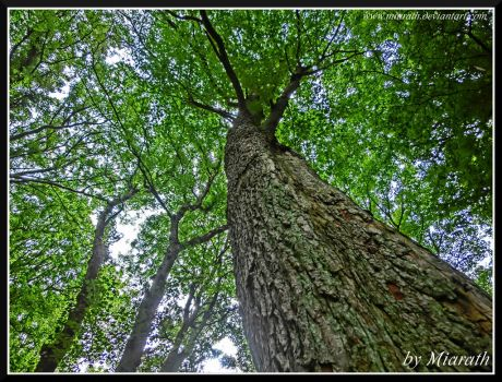 Looking up to  the Trees ... by Miarath