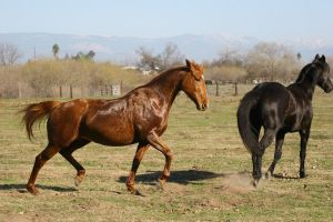 Thoroughbreds at liberty galloping in pasture by HorseStockPhotos