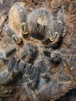Grammostola pulchripes by cannibalmoth